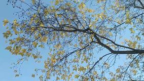 Branch with yellow leaves in the wind stock footage