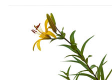 The branch of yellow  lilies Asian hybrids  on a white background Royalty Free Stock Photos
