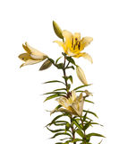 The branch of yellow lilies Lilium OT-Hybrids with buds stock image