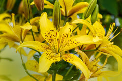 Branch of yellow lily close up. Background Royalty Free Stock Photos
