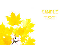 Branch of yellow maple leaves Royalty Free Stock Photo