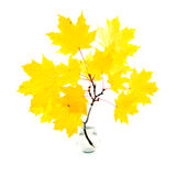 Branch of yellow maple leaves Royalty Free Stock Image