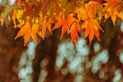 Branch with yellow maple leaves, lit by the sun against a background of blurry trees. Autumn, the change of seasons. Empty place for text, copy space stock photo