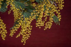 Branch of yellow mimosa on a dark red background. Close up view Royalty Free Stock Images