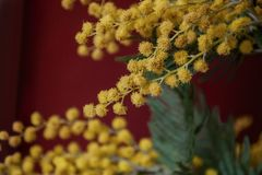 Branch of yellow mimosa on a dark red background. Close up view Royalty Free Stock Photo