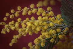 Branch of yellow mimosa on a dark red background. Close up view Stock Image