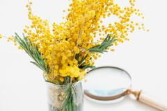 Branch of yellow mimosa and magnifying glass. We study mimosa. A branch of yellow mimosa in a glass vase on a white background. Nearby is a round magnifying royalty free stock image