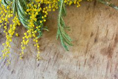 Branch yellow mimosa Royalty Free Stock Images