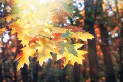 Branch of yellow oak leaves in autumn forest. royalty free stock image