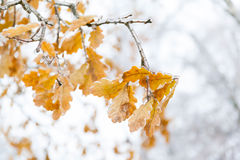 Branch with yellow oak leaves covered ice and snow after a icy rain. Royalty Free Stock Photography