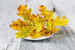 Branch with yellow oak leaves Stock Photo