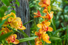 Branch of yellow orchid Stock Photos