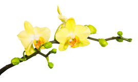 Branch yellow orchid isolated on white Royalty Free Stock Photos