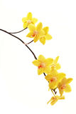 Branch of yellow orchids Stock Image