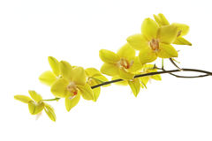 Branch of yellow orchids isolated on white Stock Images