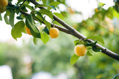 Branch With Yellow Plums Stock Photography