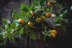 Branch of yellow plums Stock Photo