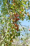 Branch with yellow and red malus apples in forest Royalty Free Stock Photos