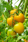 Branch of yellow tomato Stock Photo