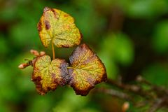 Yellow wet raspberry leaves on a branch in an autumn garden. Branch with yellow wet leaves in the garden Royalty Free Stock Photo