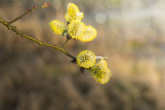 Branch with yellow willow catkin Royalty Free Stock Photography