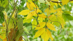 Branch With Yellowed Tree Leaves Swaying On Breeze. Close-up shot of a tree branch with yellowed leaves swaying on the wind stock video footage