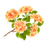 Branch yelow hibiscus tropical flowers  on a white background vintage  vector Royalty Free Stock Image