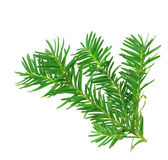 A branch of yew. Isolated on white background stock images