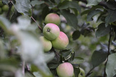 Branch of young apples Stock Photo