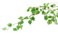 The branch of a young birch Stock Image