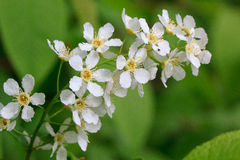 Branch of a young blooming bird cherry. Royalty Free Stock Photos