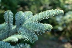 Branch of young blue normann fir Christmas tree. Close up royalty free stock photo