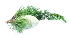 Branch of a young cedar with the cone Royalty Free Stock Photos