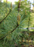 Branch young fir Royalty Free Stock Image