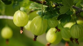 Branch of a young gooseberry closeup. stock photo