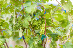 Branch young grapes on vine in vineyard Royalty Free Stock Photo