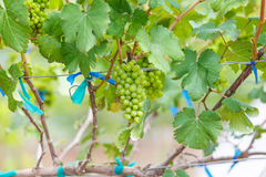 Branch young grapes on vine in vineyard Royalty Free Stock Image