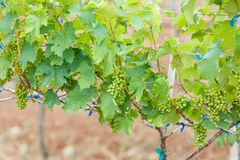 Branch young grapes on vine in vineyard Stock Images
