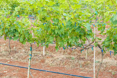 Branch young grapes on vine in vineyard Royalty Free Stock Photography