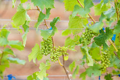 Branch young grapes on vine in vineyard Royalty Free Stock Photos