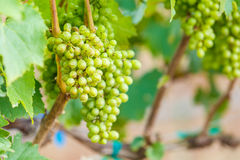 Branch young grapes on vine in vineyard Stock Photo