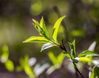 Branch with young green leaves Royalty Free Stock Photo