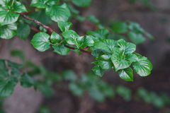 Branch with young green leaves Stock Photography