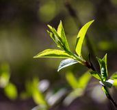 Branch with young green leaves Royalty Free Stock Image