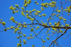 Branch with young green oak leaves in spring towards sunlight. The oak leaves in may. royalty free stock photos