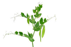 Branch of young green peas Royalty Free Stock Photos