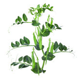 Branch of young green peas isolated on a white background Stock Photography