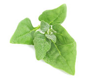 A branch of young green spinach on a white background. Stock Photo