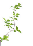 Branch with young green spring leaves Stock Image