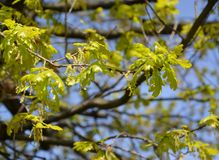 Branch with young leaves and inflorescences of an oak of English, Quercus robur L. Branch with young leaves and inflorescences of an oak of English Royalty Free Stock Images